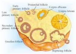 Ovarian Follicles